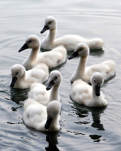 7-swans-aswimming