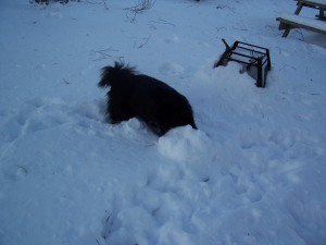See Nala!!! I love to shove my head in the snow too!